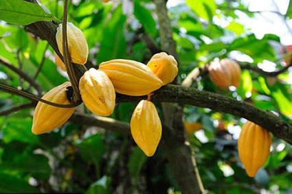 Trái Cacao Tươi